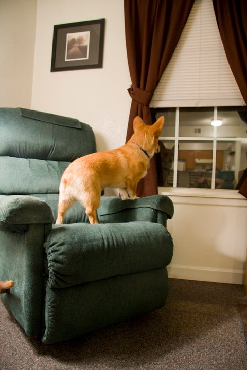 Stoli spends a ridiculous amount of time barking at his reflection in the window at night. For being the 10th smartest dog breed, Stoli has his moments of doubt.