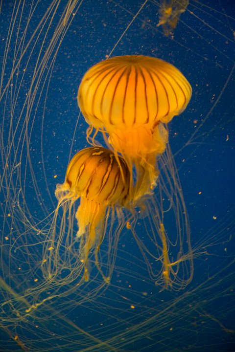 Jellyfish © Holly Hildreth 2011
