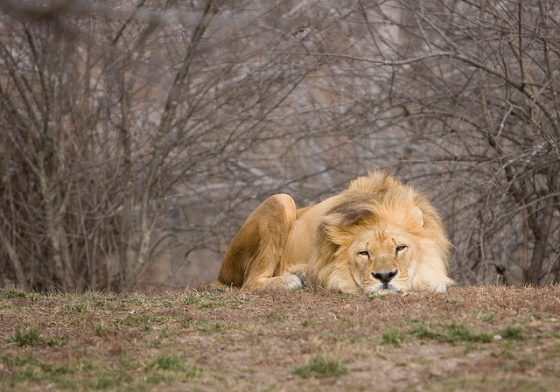 Prozac Lion © Holly Hildreth 2012