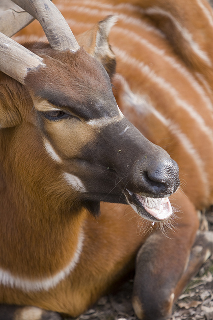 Bleating bongo deer  © Holly Hildreth 2012
