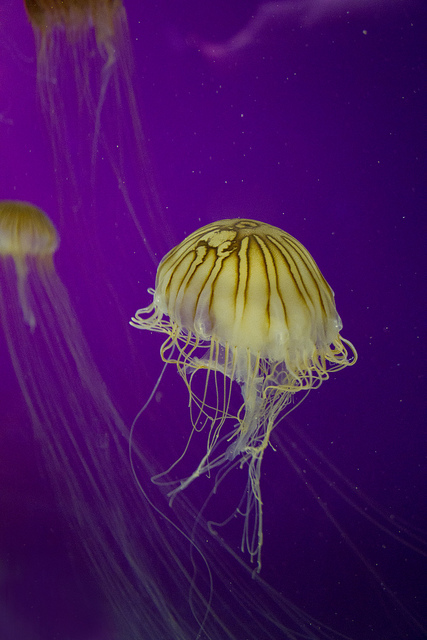 Jellyfish © Holly Hildreth 2012