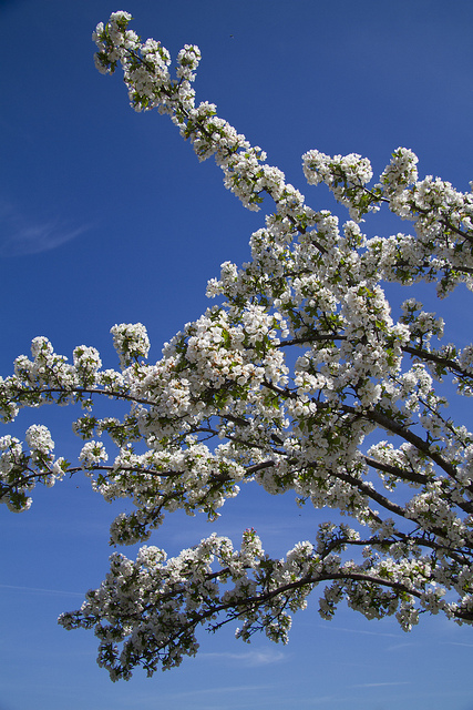 Flowering Tree © Holly Hildreth 2012