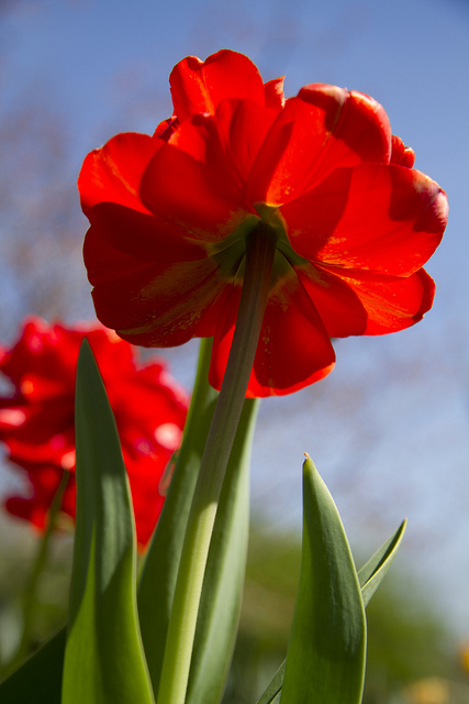 Tulips © Holly Hildreth 2012