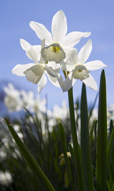 Daffodils Flowering © Holly Hildreth 2012