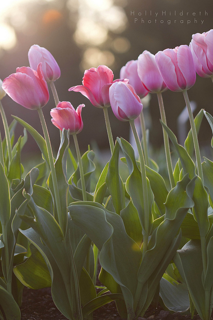 Tulips © Holly Hildreth 2013