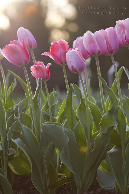 Tulips © Holly Hildreth 2013